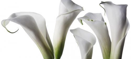 Fleur Arum