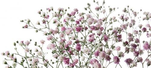 Fleur gypsophile