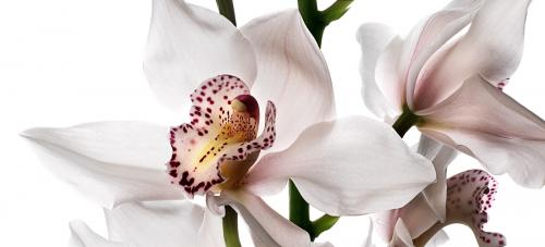 Cymbidium Cut Orchid