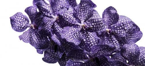 Vanda Cut Orchid