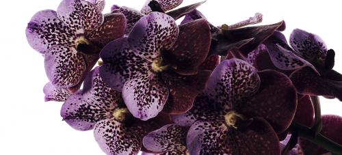 Vanda Cut Orchids