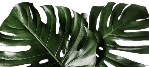 Feuille de Philodendron Monstera Green