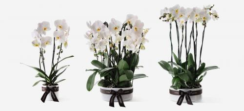Potted Orchid Gifts