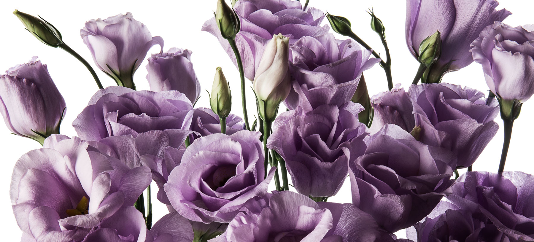 Lisianthus flowers flowerbx lisianthus are large bell shaped flowers with flaring pale purple petal like lobes they are long lasting flowers with four wide ruffled delicate petals mightylinksfo