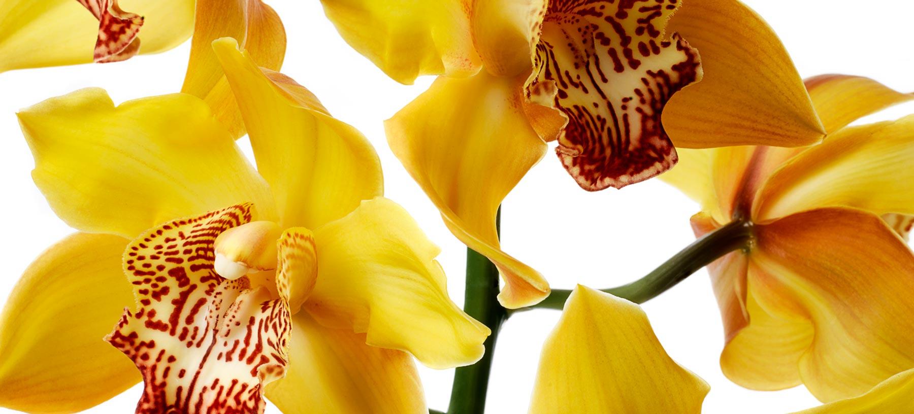 Cymbidium Cut Orchid