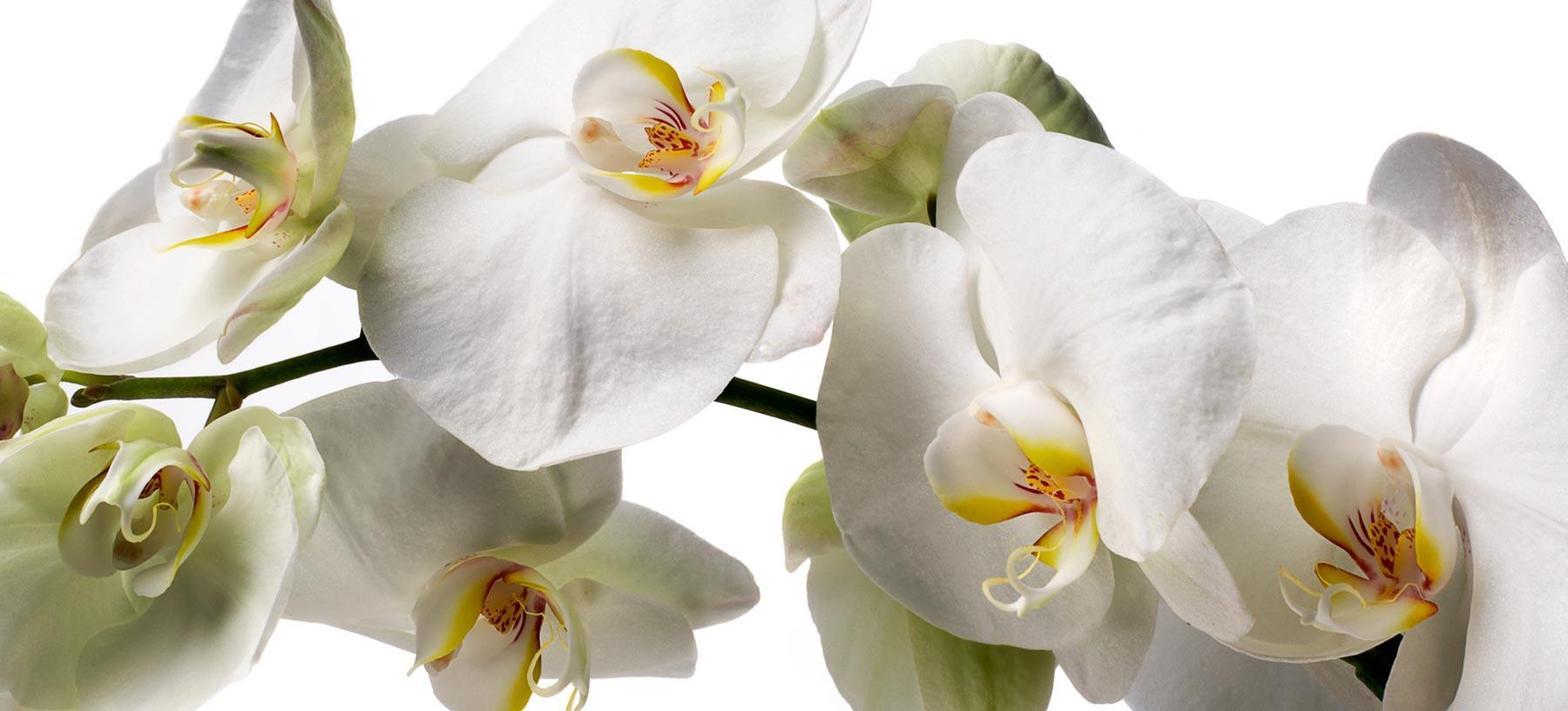 Cut orchids