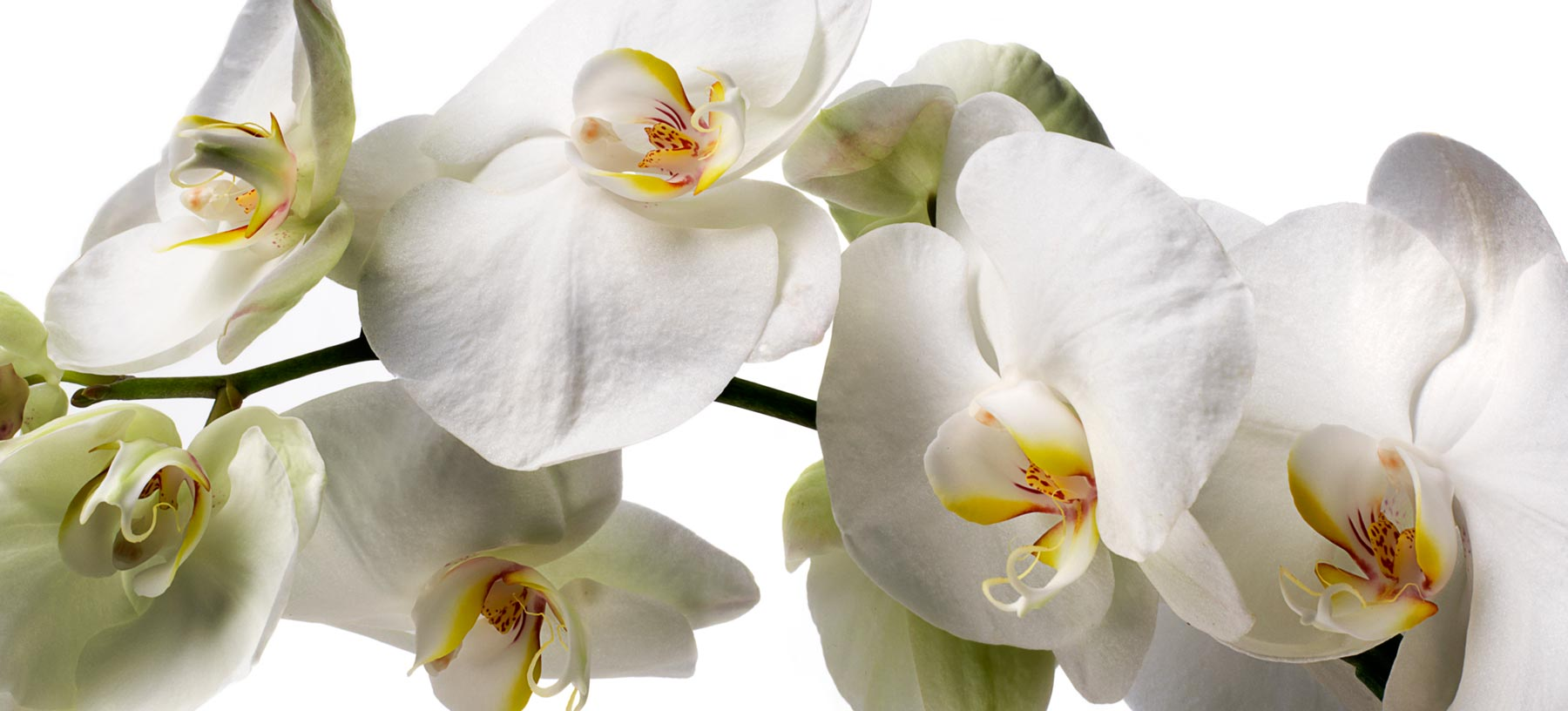 Phalaenopsis Cut Orchids