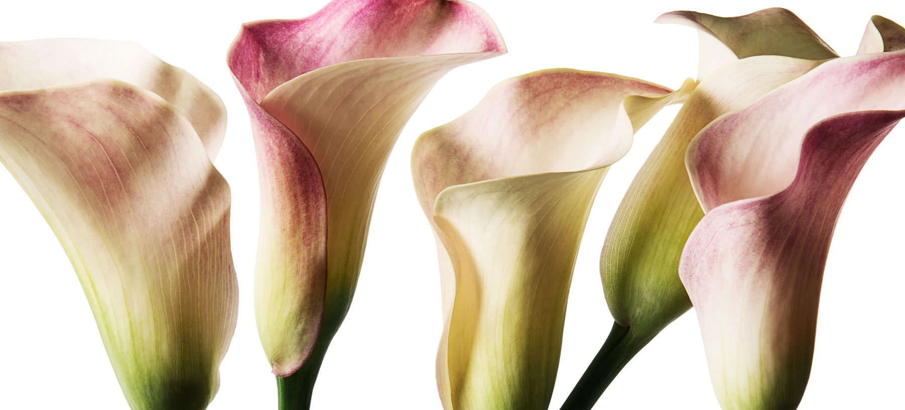 Lys Calla en fleur