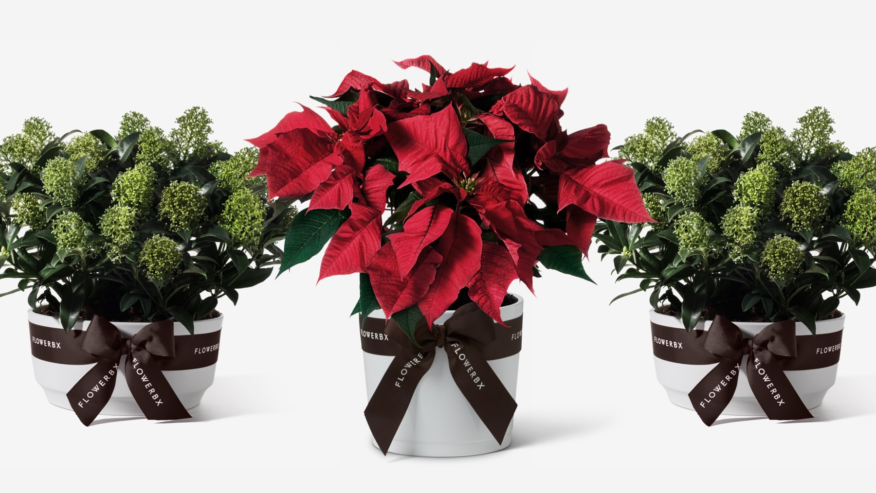 Red Flower Poinsettias and Christmas Plants