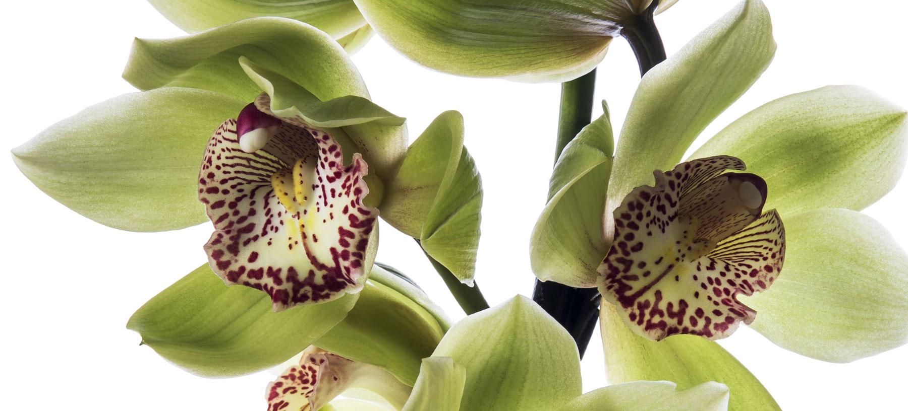 Cymbidium Cut Orchids
