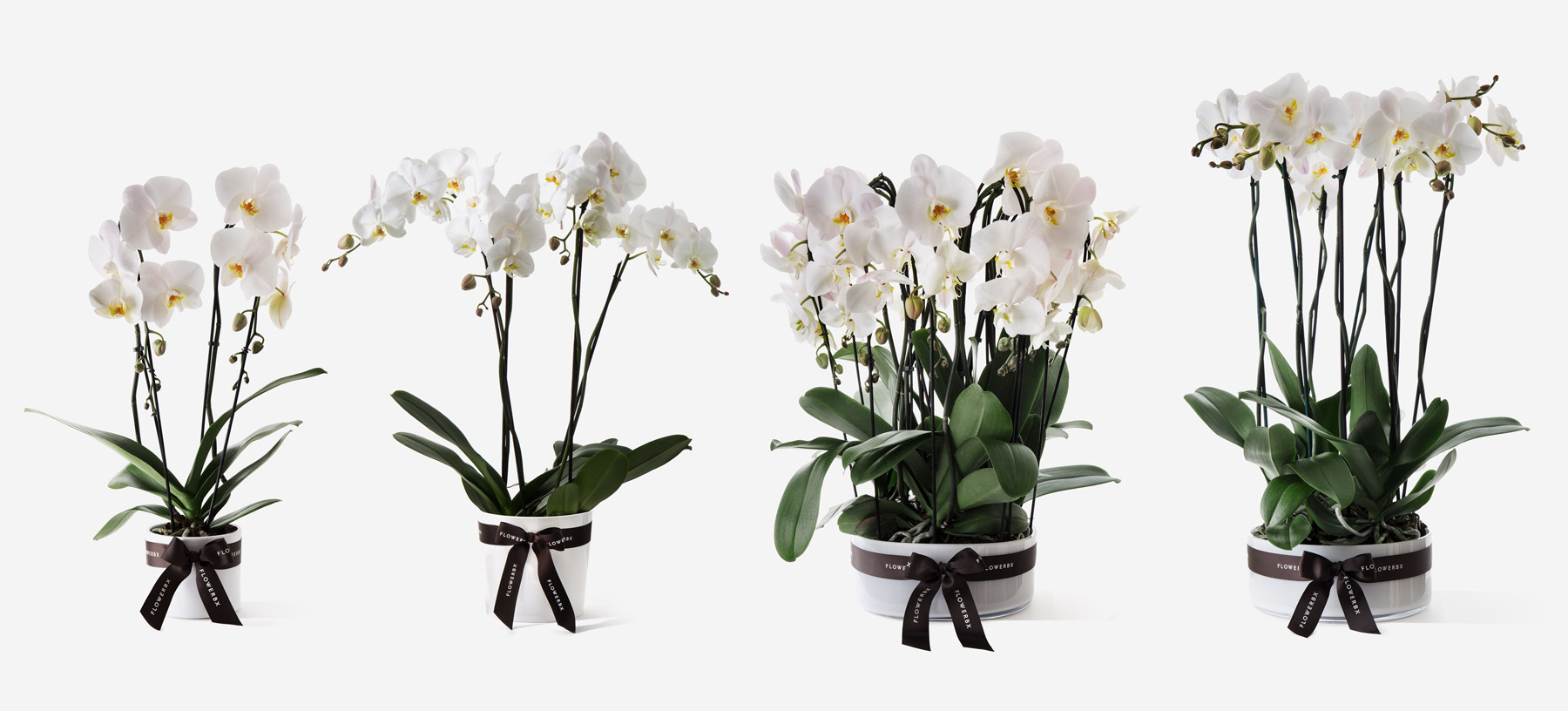 Potted Orchid Plants
