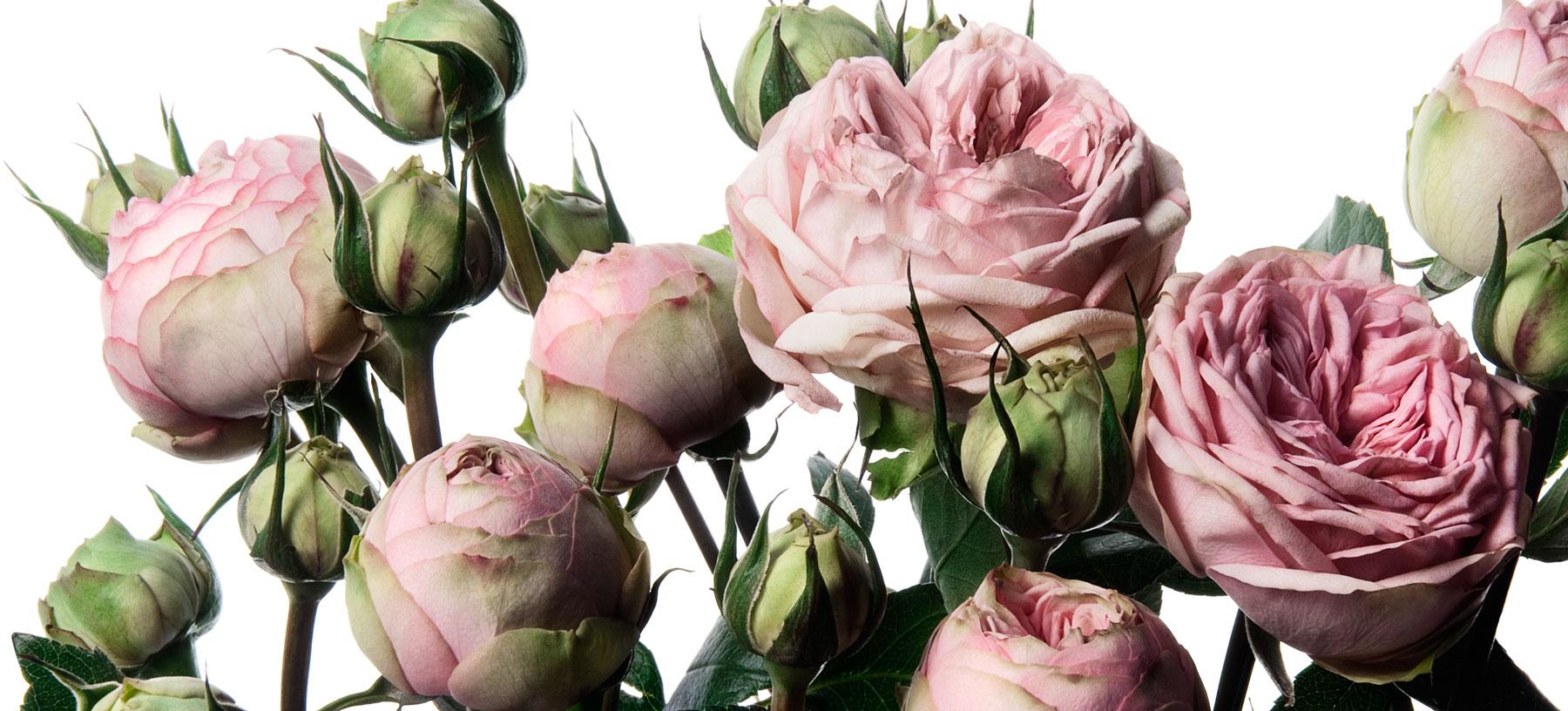 Piano Spray Rose