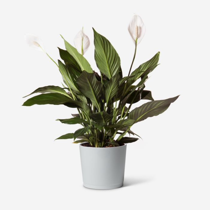 Small Peace Lily Plant