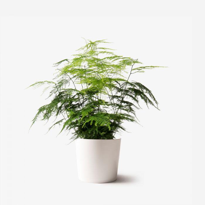 Asparagus Fern Plants Flowerbx