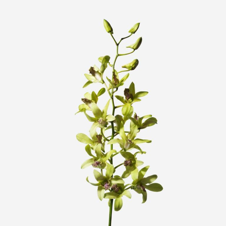 Orchidée Dendrobium coupée Mojito