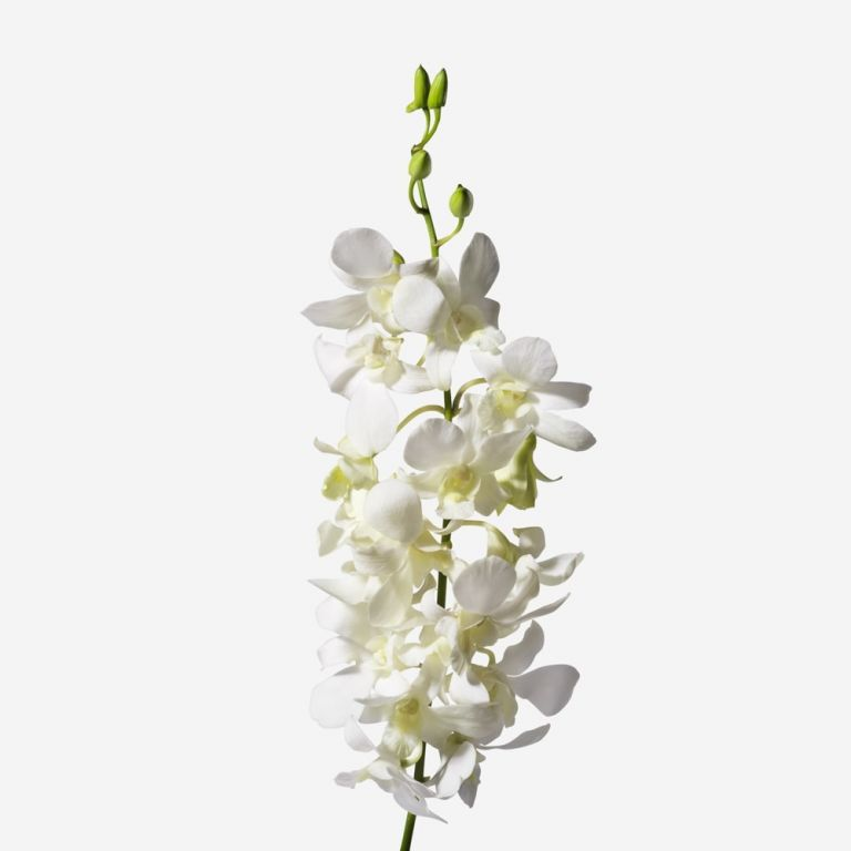 Orchidée Dendrobium coupée Chantilly Lace