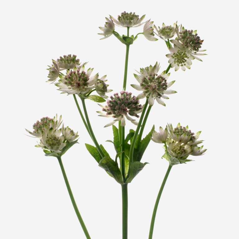 Astrantia First Kiss