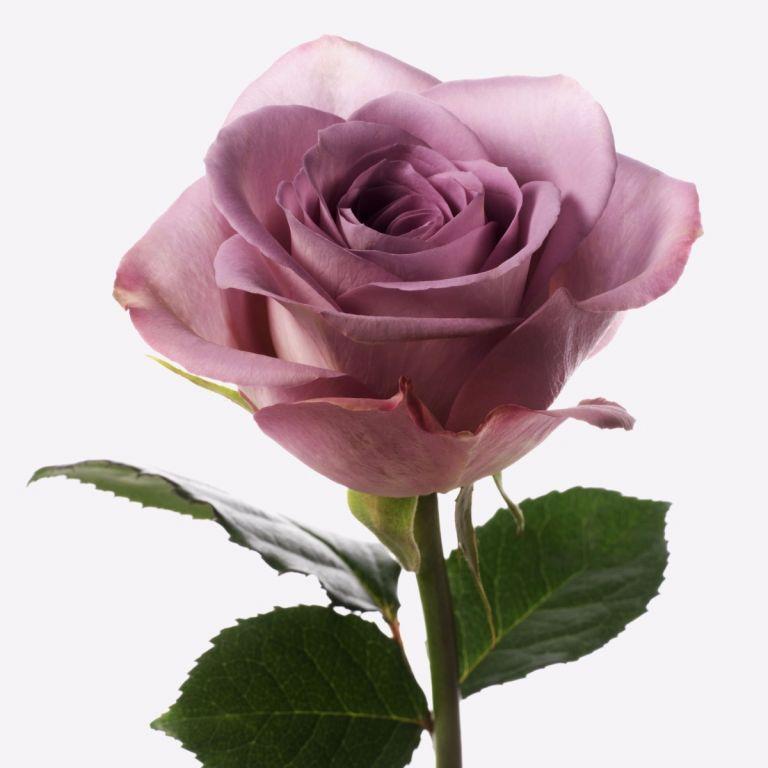 Memory Lane Rose
