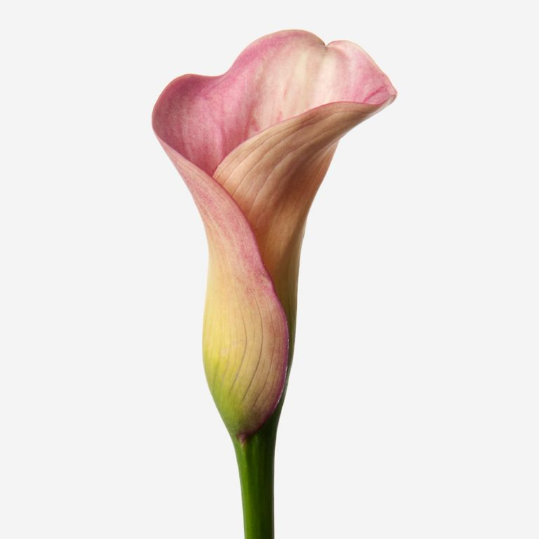 Blushing Bride Calla Lily
