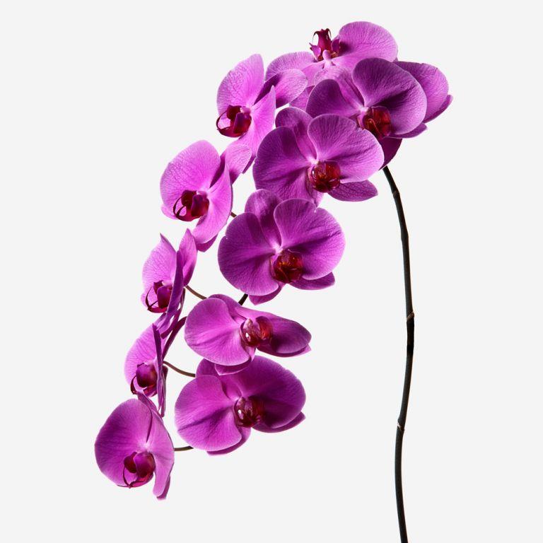 Magenta Phalaenopsis Cut Orchid