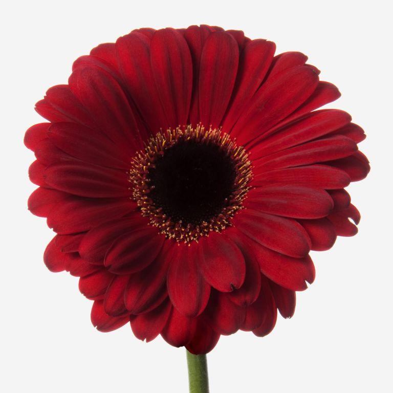 Crimson Tide Gerbera Daisy