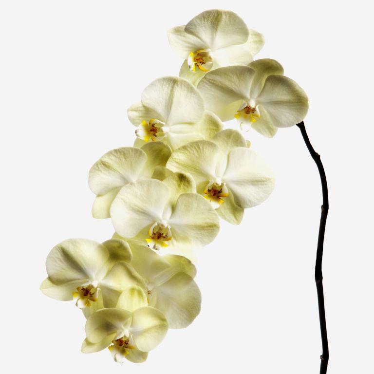 Buttermilk Phalaenopsis Cut Orchid