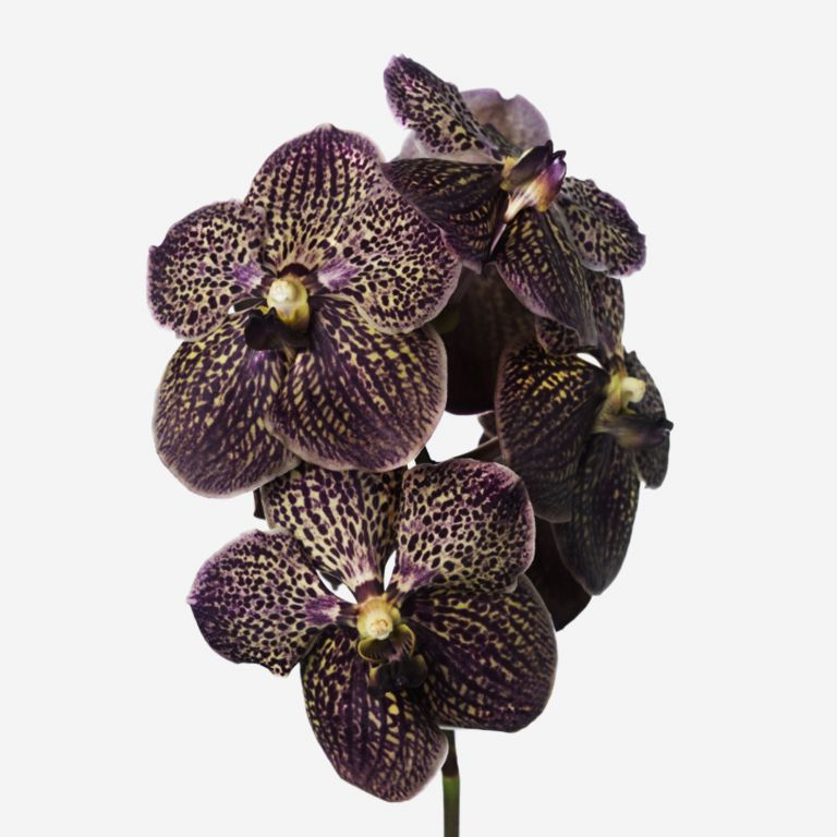 Chocolate Decadence Vanda Cut Orchid