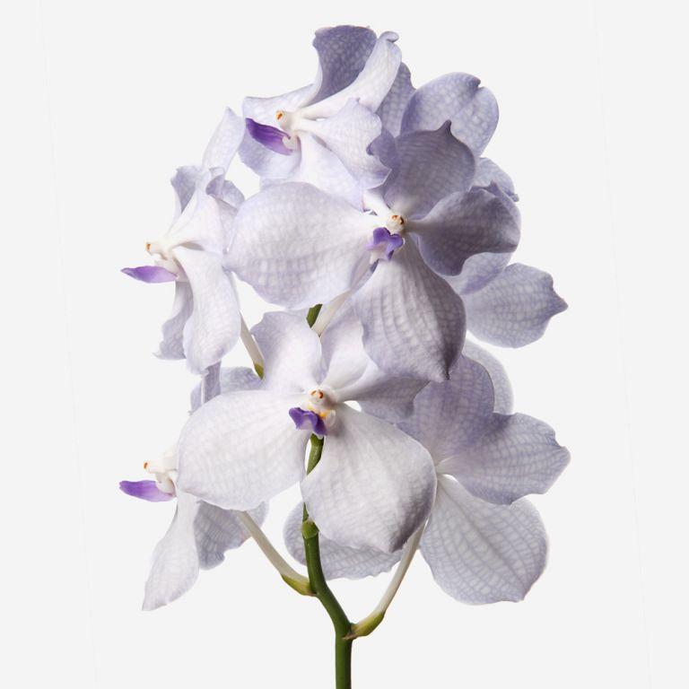 Periwinkle Dust Vanda Cut Orchid