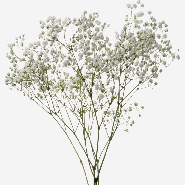 Ghost White Baby's Breath