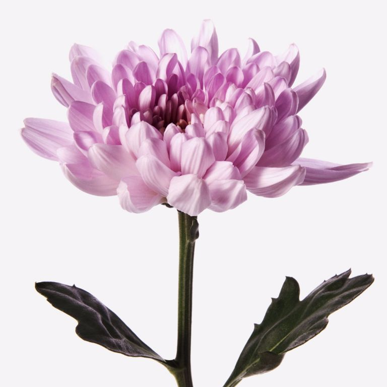 Kiss Me Pink Chrysanthemum