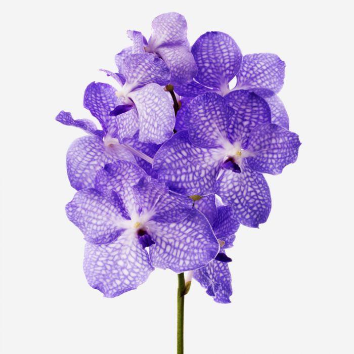 Vase set Amethyst Vanda Cut Orchid and Petit Mayfair Blanc