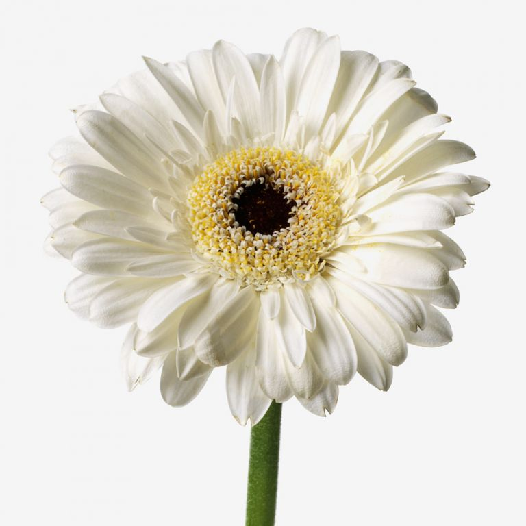 Powder Puff Gerbera Daisy
