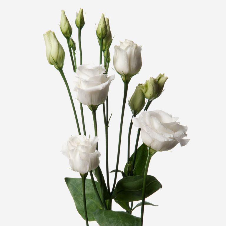 Powder White Lisianthus
