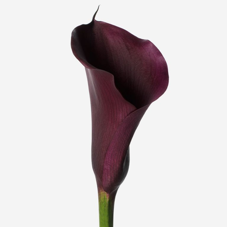Midnight Calla Lily