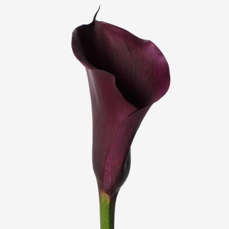 Midnight Calla Lily