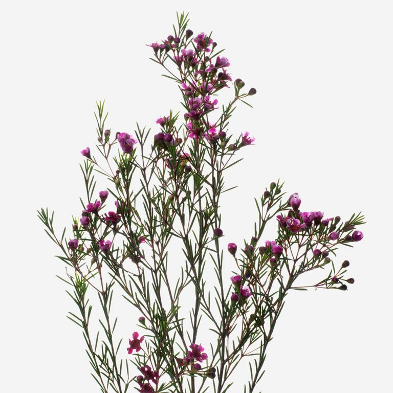 Purple Rain Wax Flower