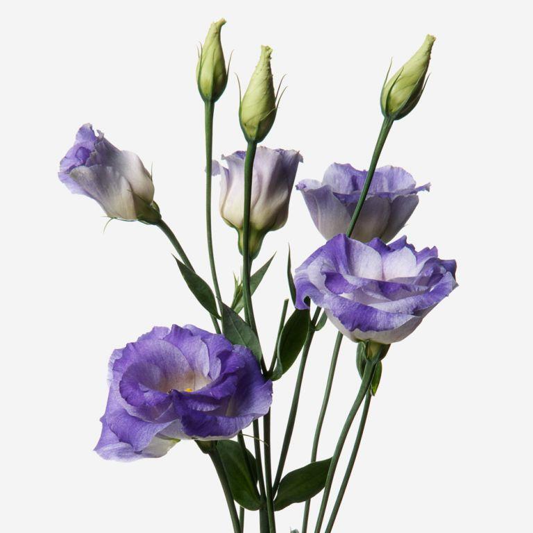 Blue Violet Lisianthus