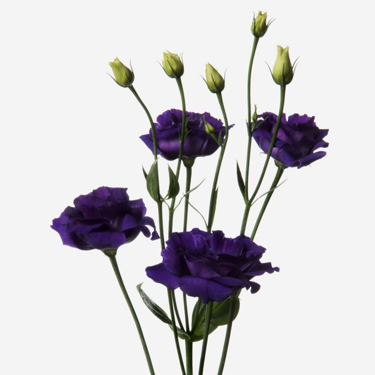 Royal Purple Lisianthus