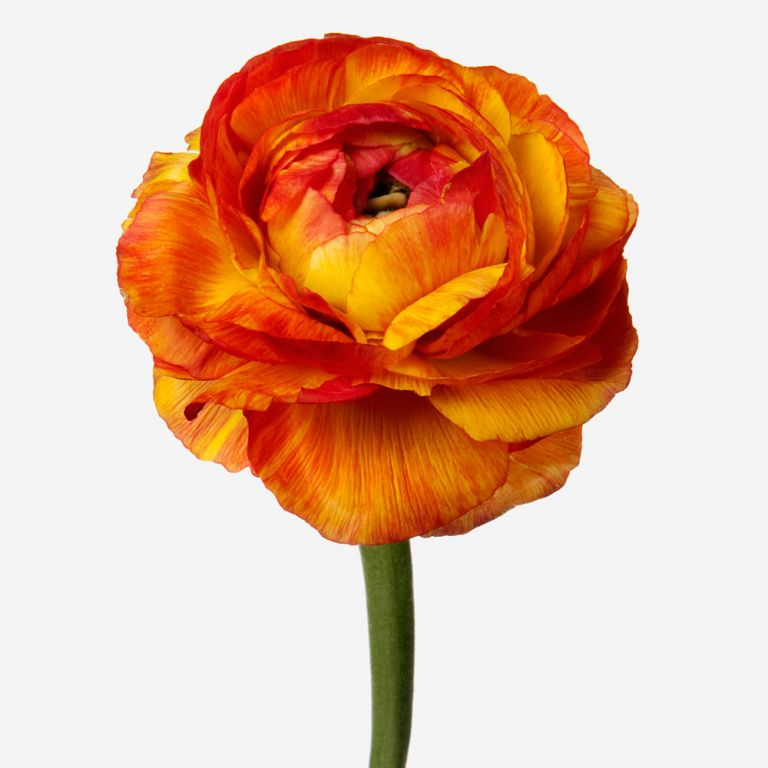 Indian Summer Italian Ranunculus