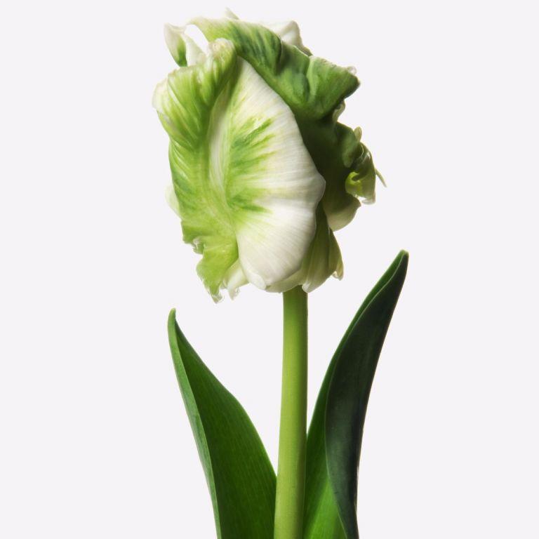 Mint Parrot Tulip