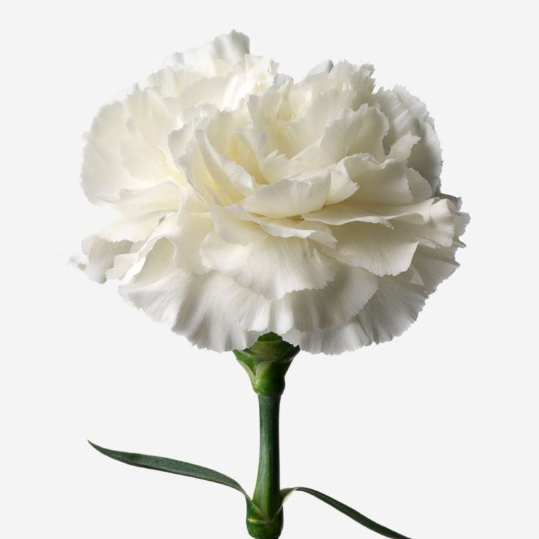 Cotton Puff Carnation