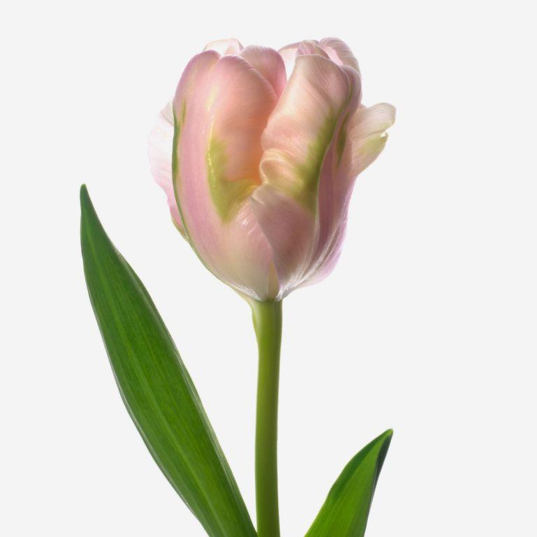 Petal Pink Parrot Tulip