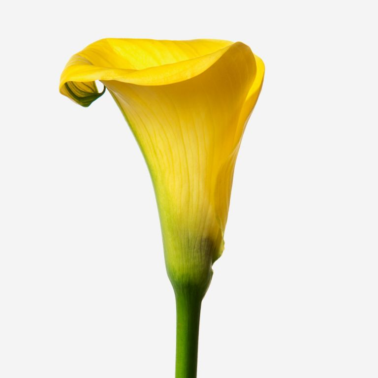 Lys calla Sunny Side Up