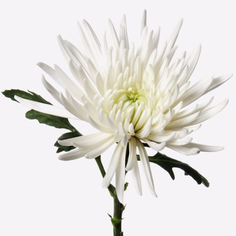 Snowy White Chrysanthemum