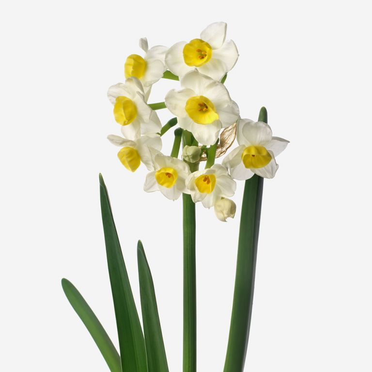 British Sunny Side Up Narcissus
