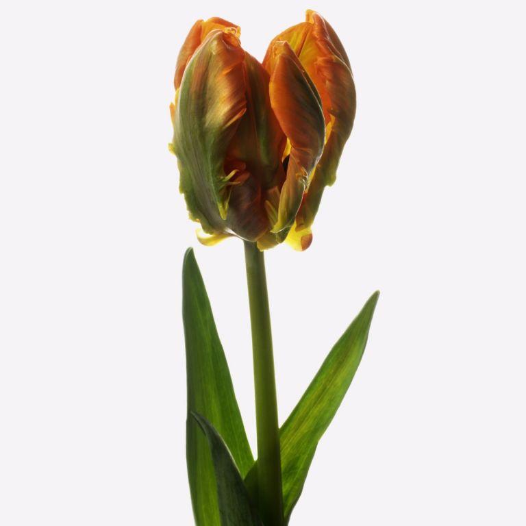 Saffron Parrot Tulip