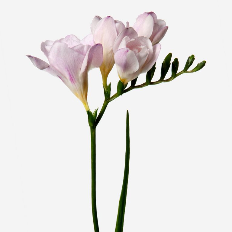 Freesia Pink Kiss