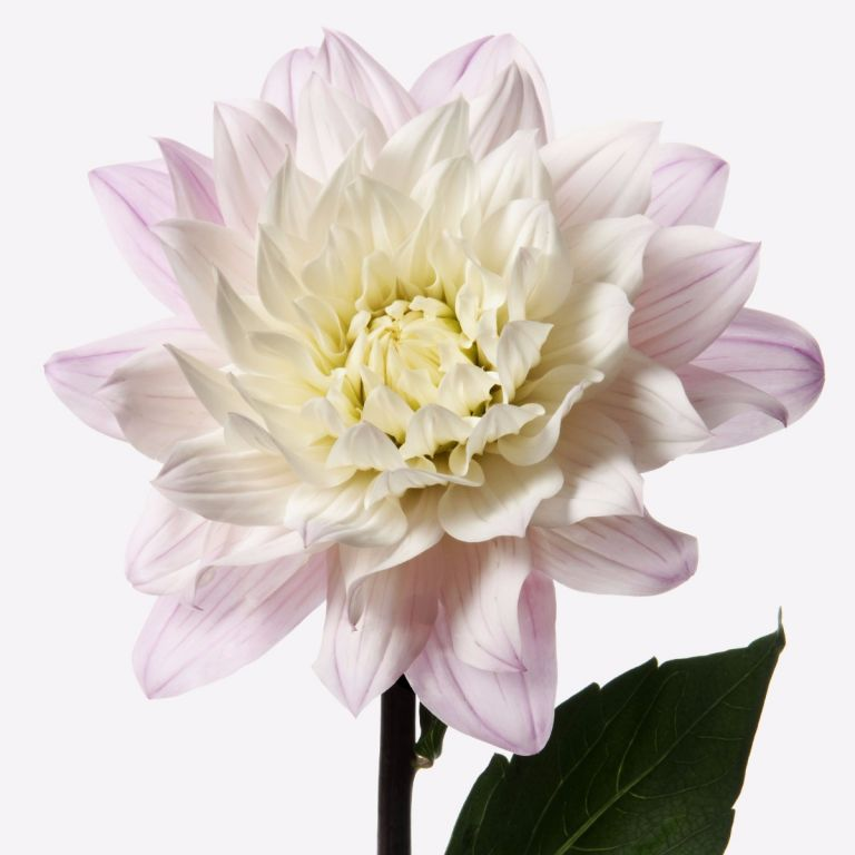 Mother of Pearl Dahlia