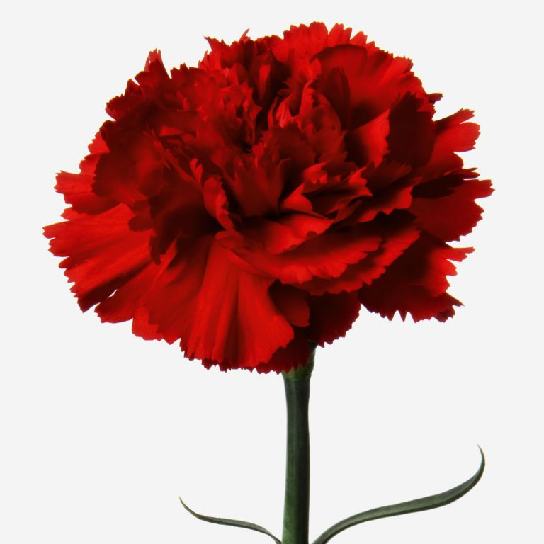 Red Head Carnation