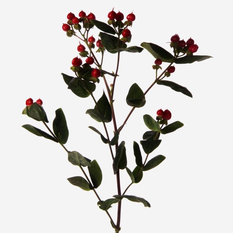 Rouge Hypericum